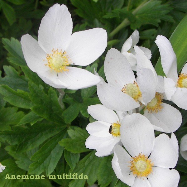 Anese anemone flower meaning flowers healthy sms s anemone wikipedia discover the age meanings of flowers teleflora anese woodblock flower prints dover mightylinksfo